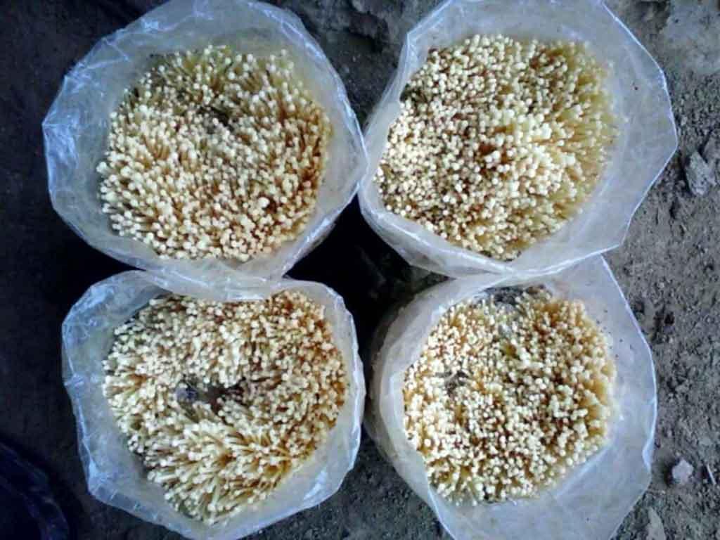 灵寿金针菇