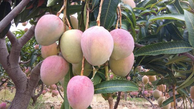 攀枝花芒果