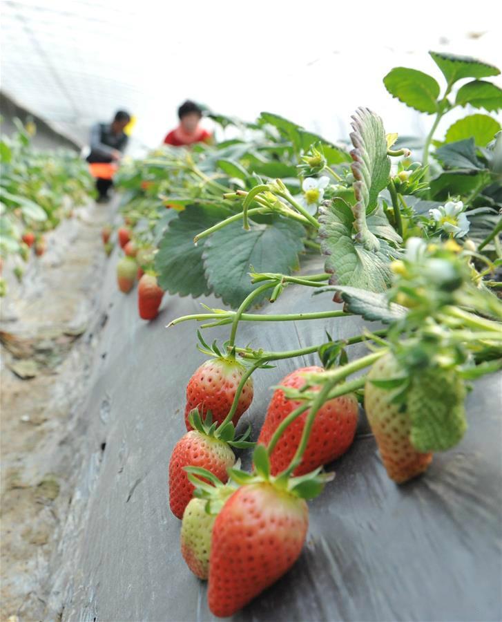 姜格庄草莓