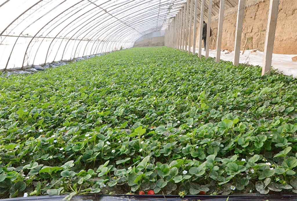 姜格庄草莓种植基地