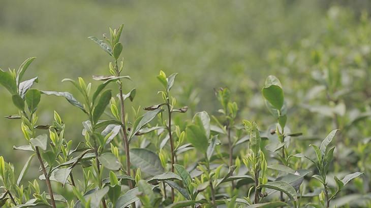 桐庐雪水云绿茶—茶树