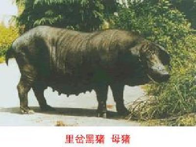 里岔黑猪—母猪