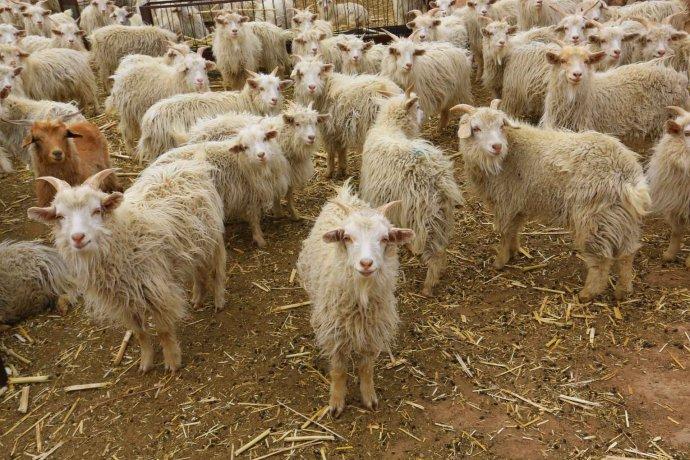 阿尔巴斯白绒山羊
