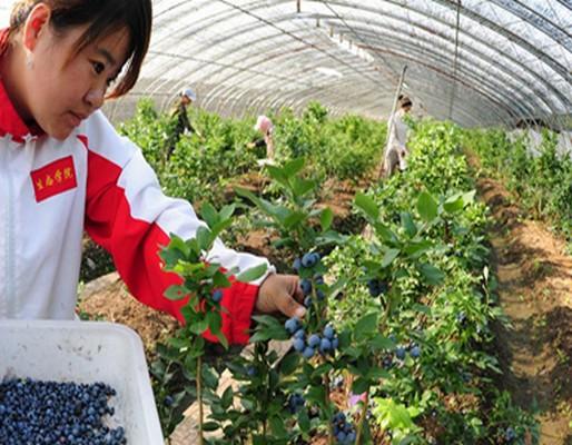 伊春蓝莓人工种植基地