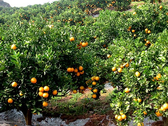 邻水脐橙种植基地