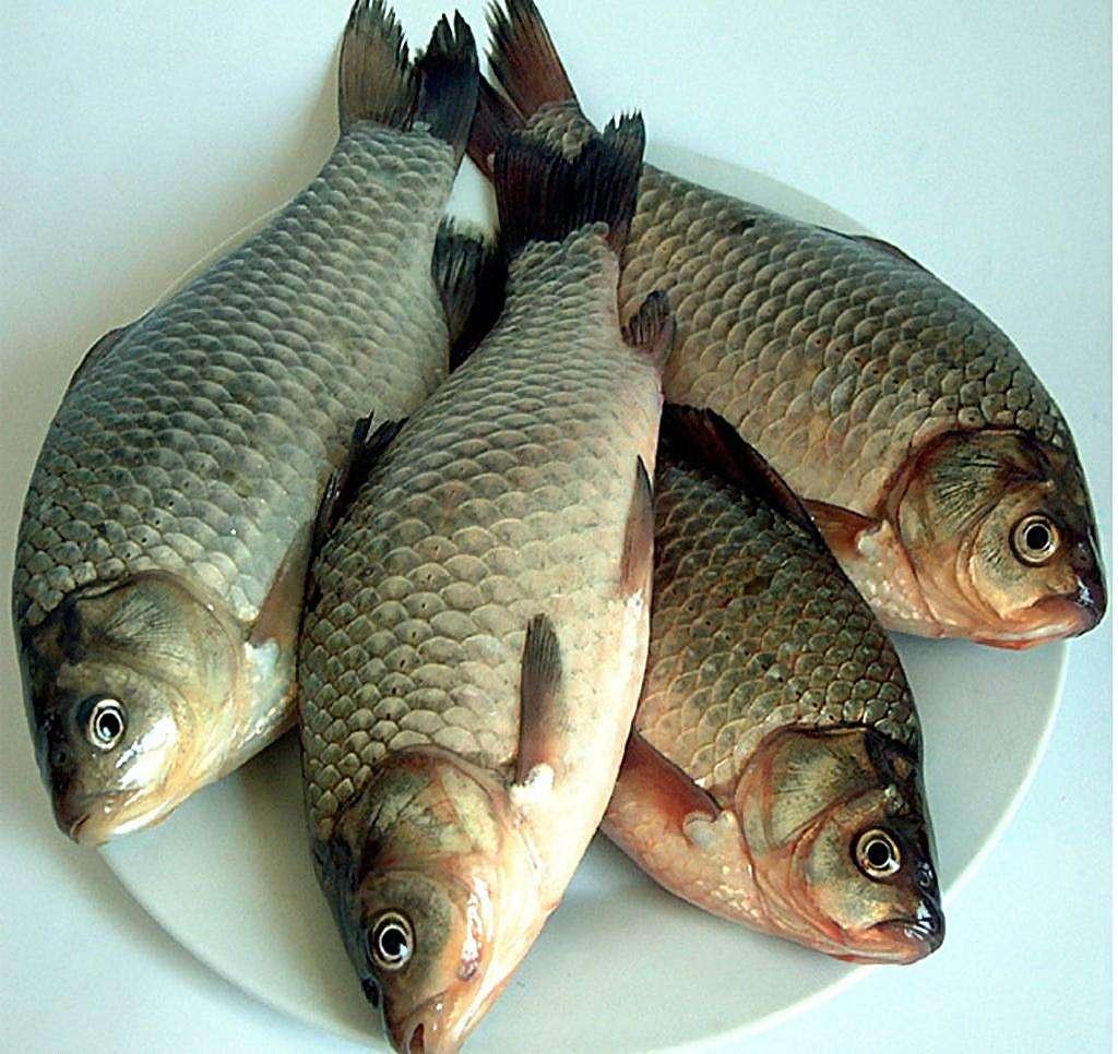 五大连池鲫鱼