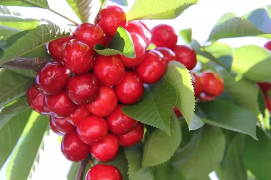 汶川甜樱桃