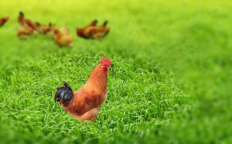 长汀河田鸡