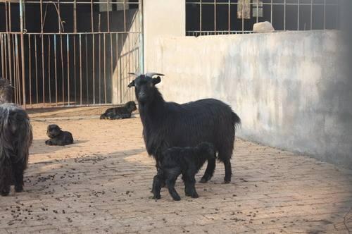 莱芜黑山羊