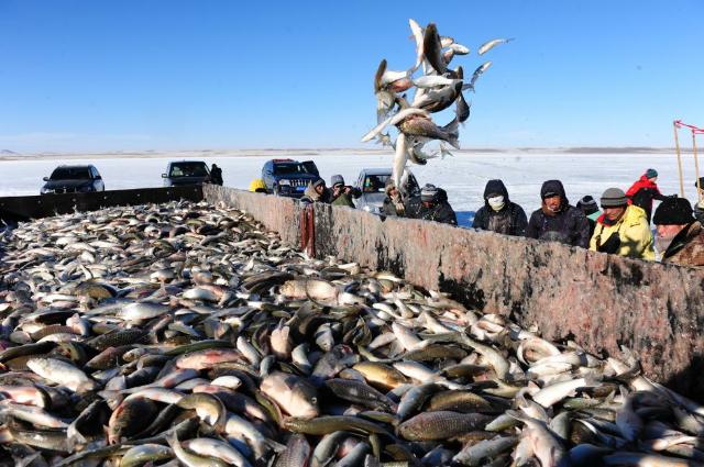 达里湖华子鱼