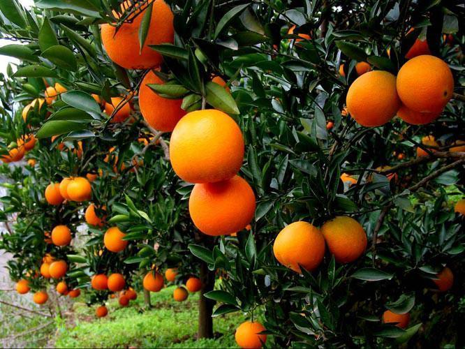 凉山雷波脐橙