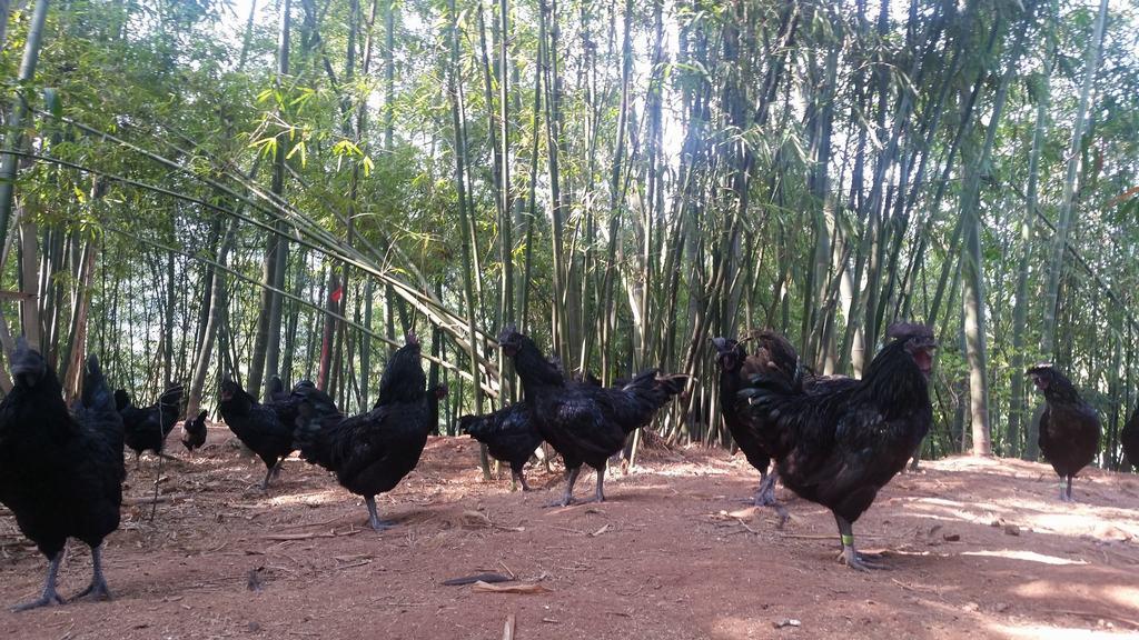 赤水乌骨鸡