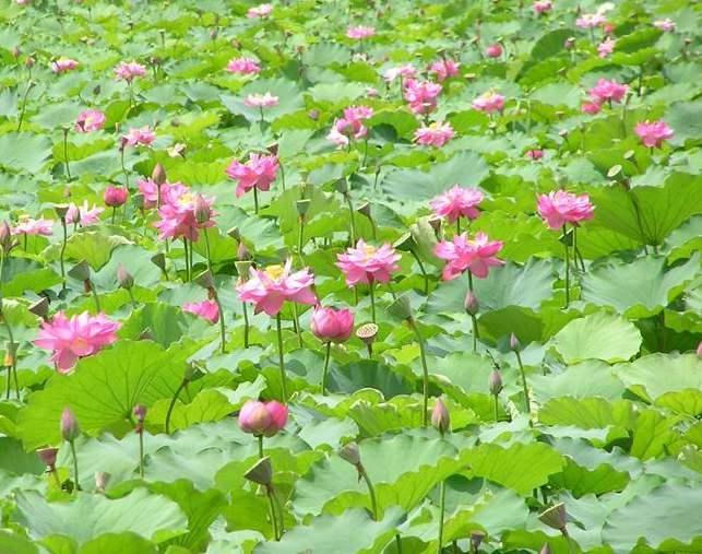隆尧泽畔藕藕塘