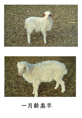 黄渠桥羊羔