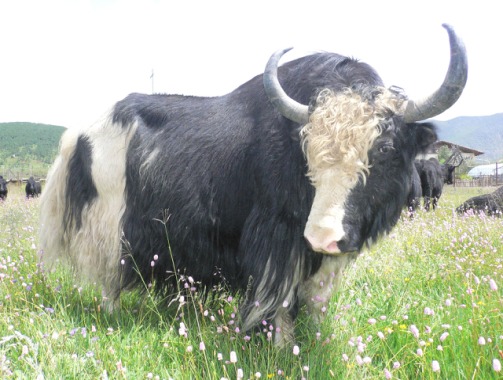香格里拉牦牛