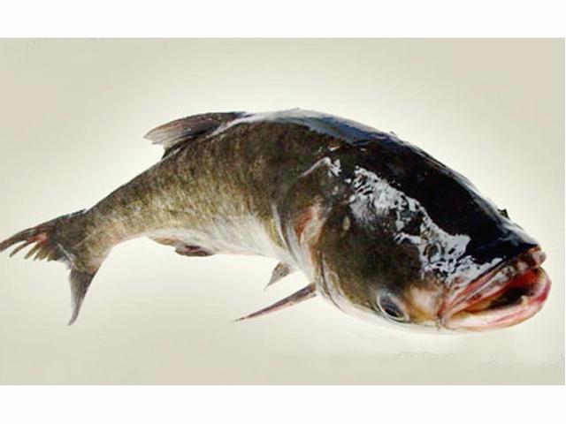 华容大湖胖头鱼