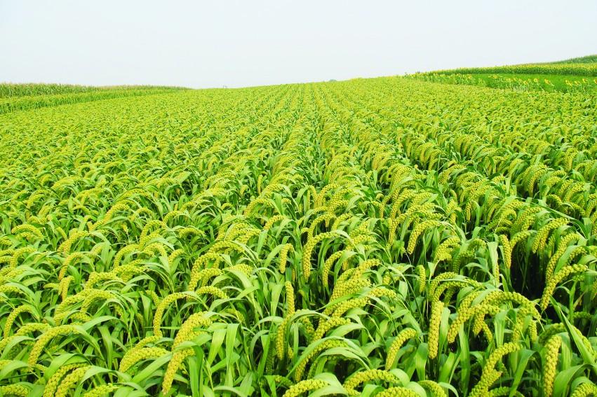 朝阳县农产品安全生产示范区谷子