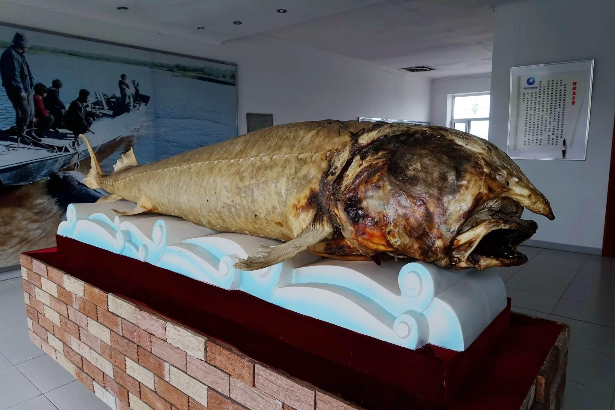 抚远鳇鱼标本