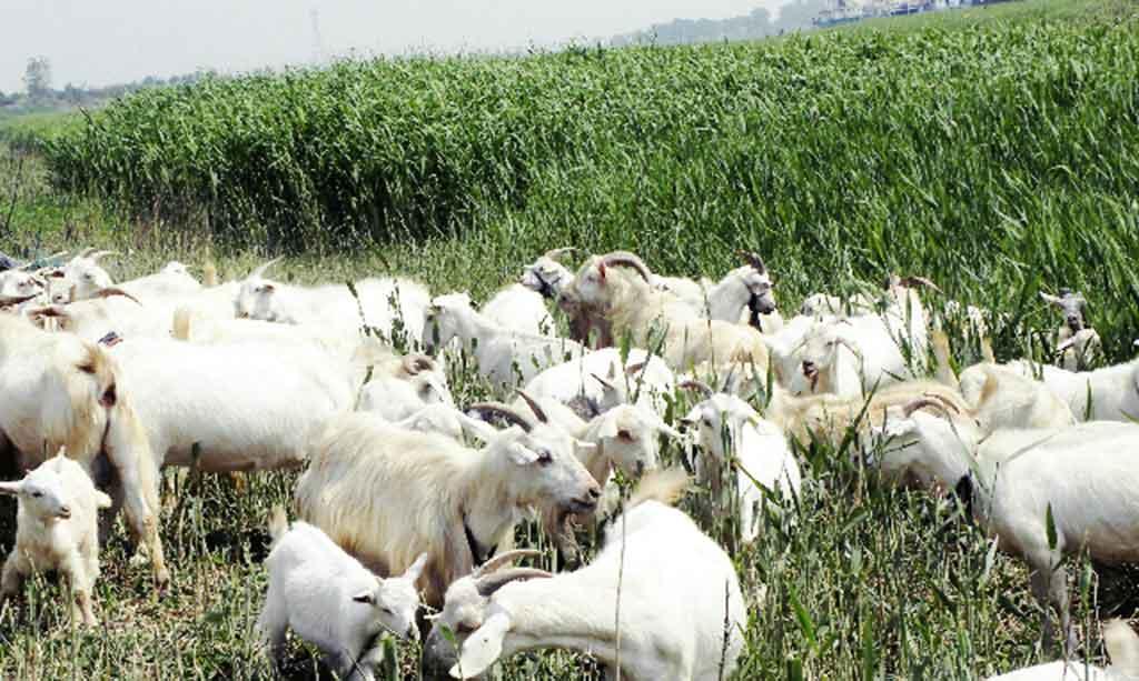 沾化白山羊