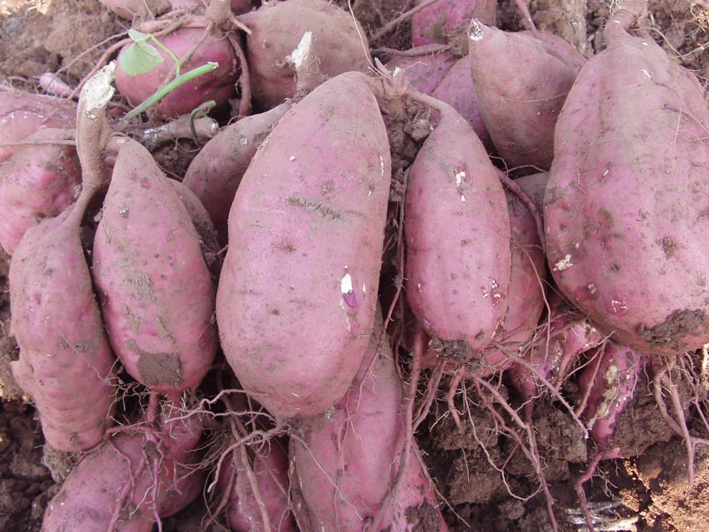 五工台红薯