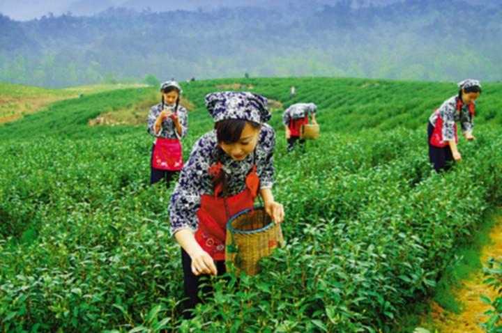 靖安白茶种植基地图集