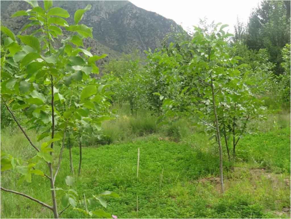 朗县核桃林