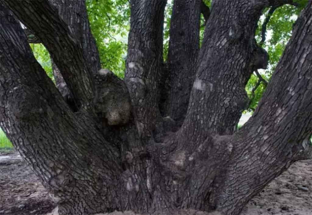朗县核桃树