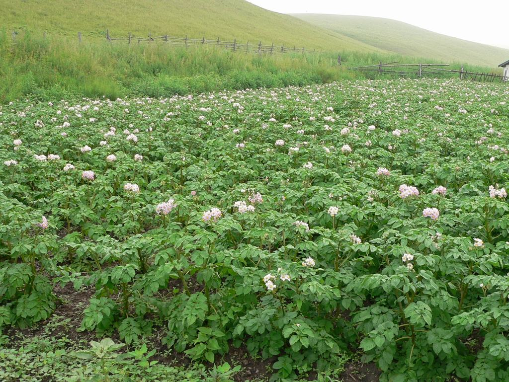 马铃薯花期