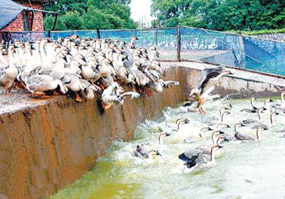 图2 兴国灰鹅养殖