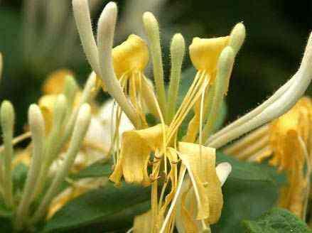 尖山金银花
