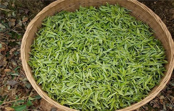 昭平银杉茶
