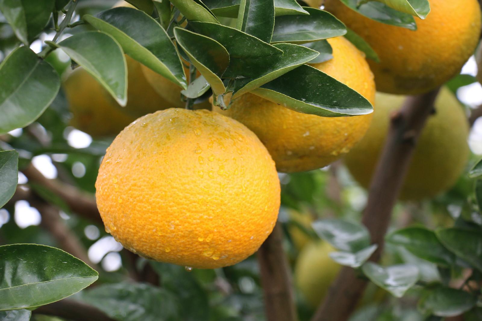 明圣温岭高橙
