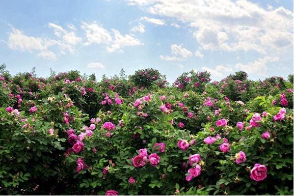 妙峰山玫瑰园