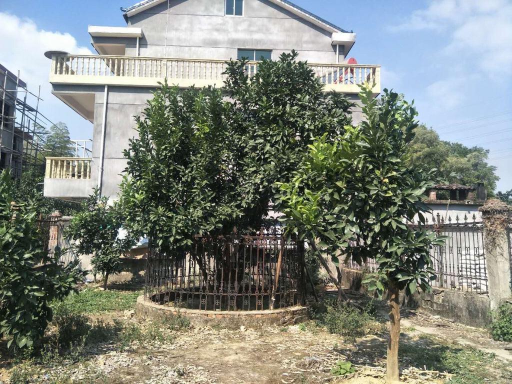 广丰马家柚母树