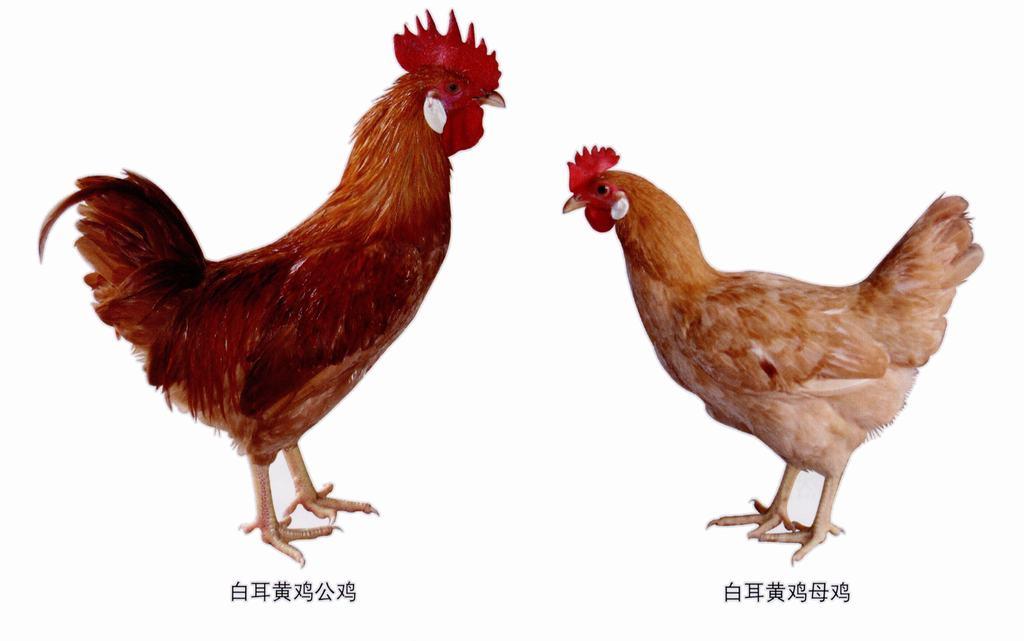 广丰白耳黄鸡