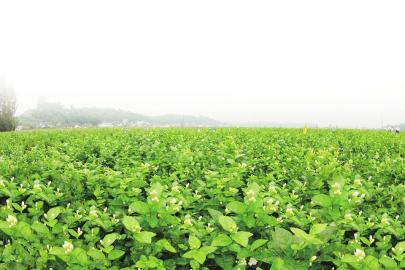 福州茉莉花茶茶园