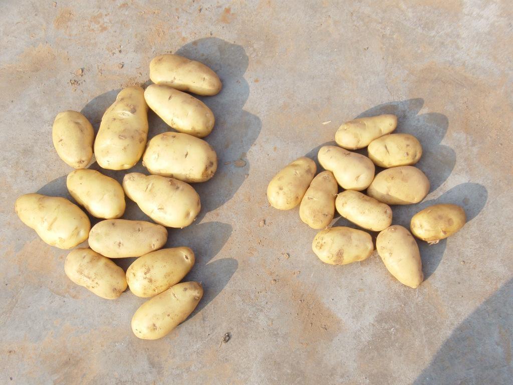 胶西马铃薯