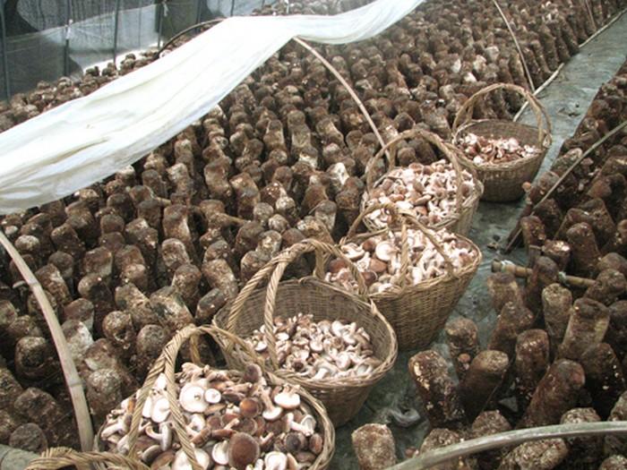 临川虎奶菇种植基础图集