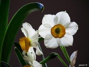 漳州水仙花