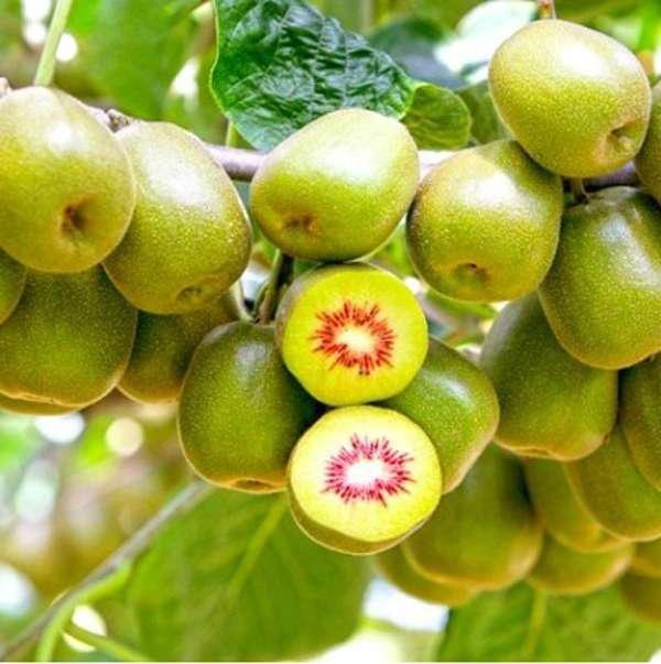 金寨猕猴桃