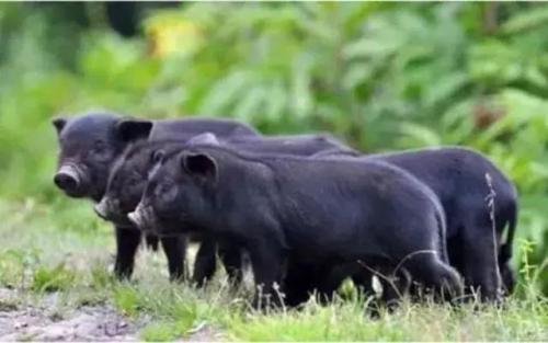 岷县蕨麻猪