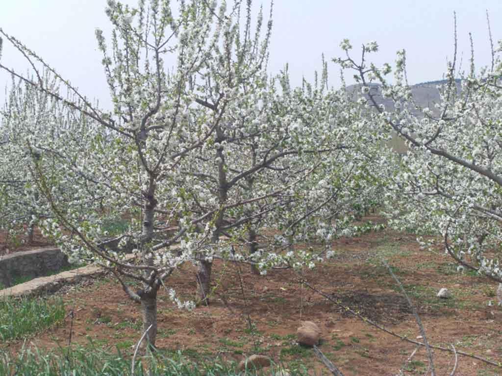 沂水大樱桃