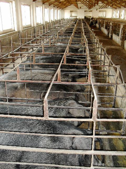 莱州烟台黑猪养殖