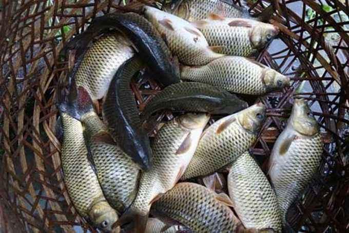 三江稻田鲤鱼