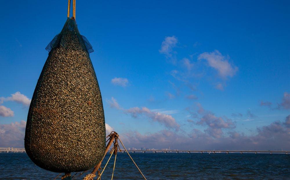 胶州湾蛤蜊