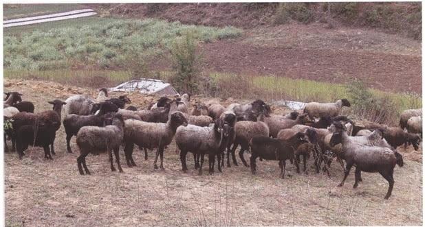 石屏青绵羊