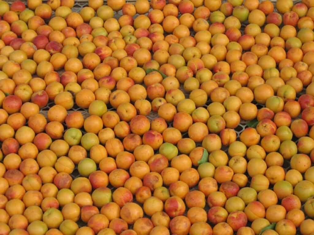 阿力玛里树上干杏