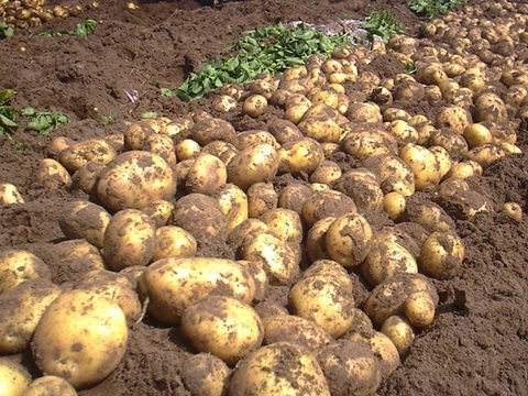 同心马铃薯