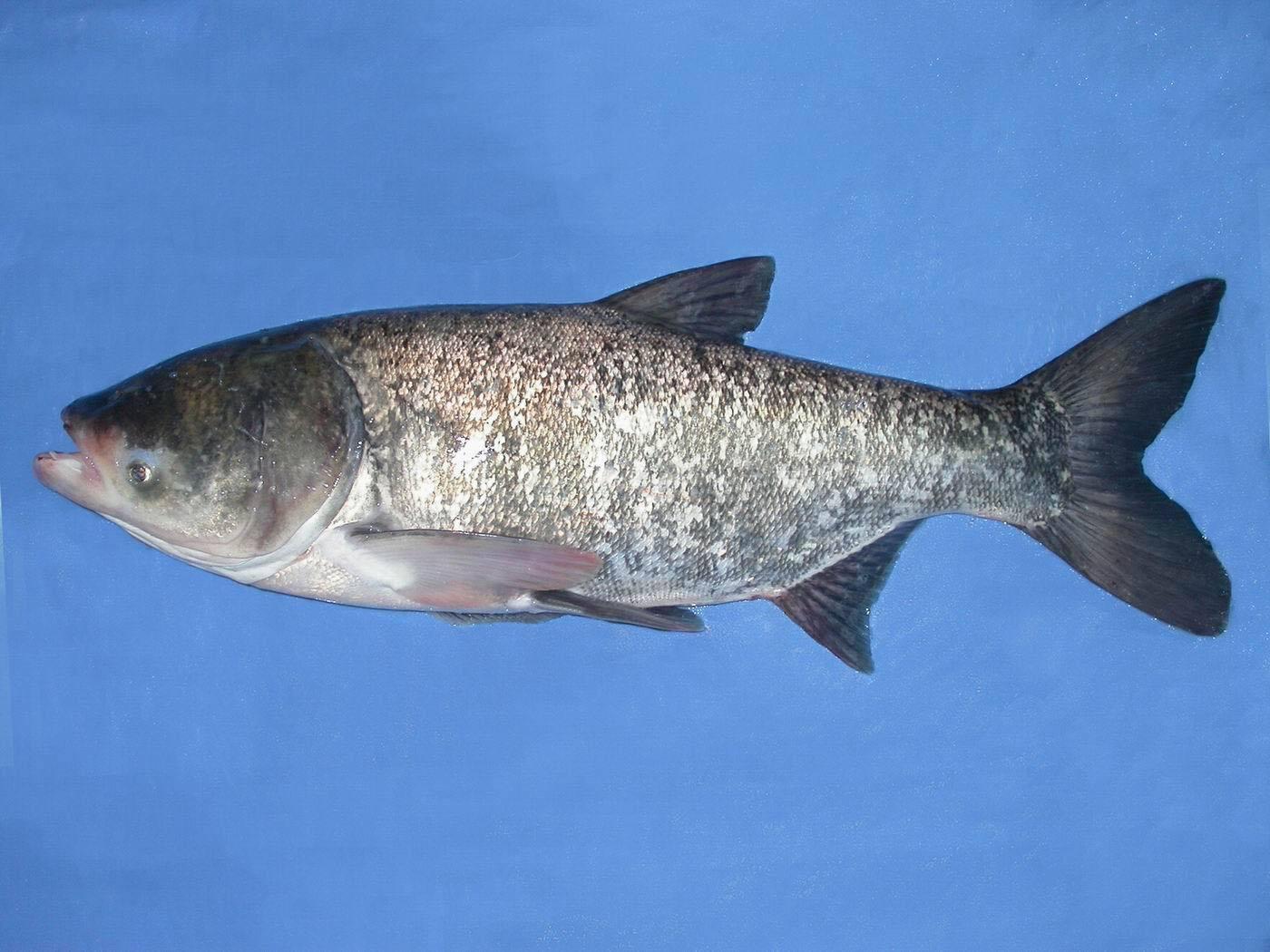 五大连池鲢鱼