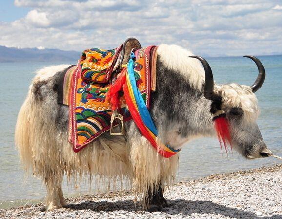金川多肋牦牛